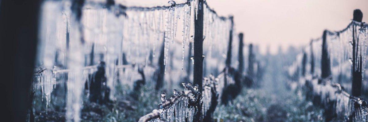 Le gel, fléau de la vigne