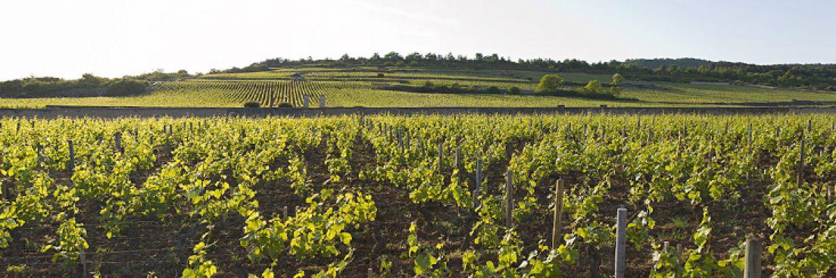 La colline du Montrachet vue de Puligny-Montrachet