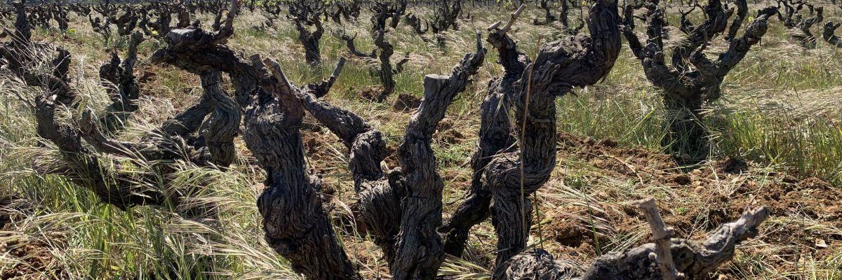 rechauffement-climatique-vigne